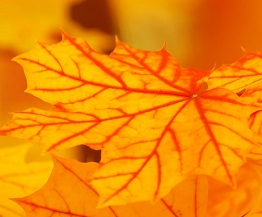 bright-yellow-leaves.jpg